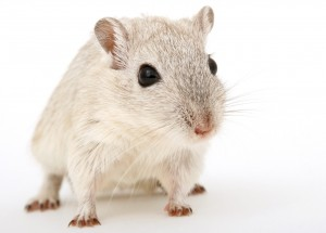 Mice With 3-D Printed Ovaries Give Birth To Healthy Litters In New Study